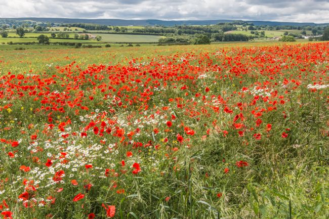 Richard Laidler | Poppies and Ox-Eye Daisies