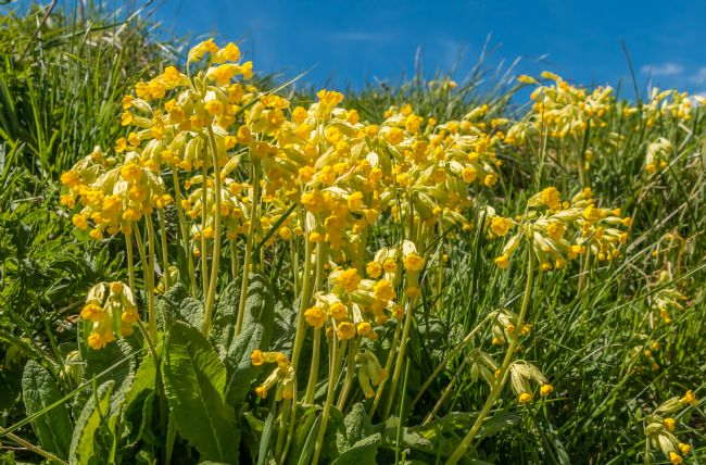 Richard Laidler | Flowering Cowslips