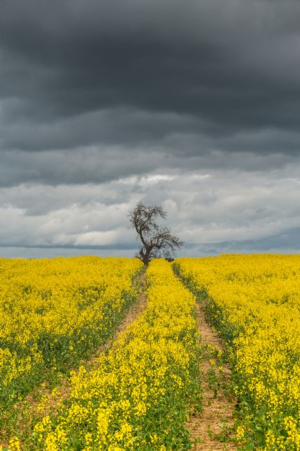 Richard Laidler | Dramatic Light and Oilseed Rape