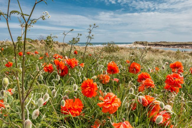 Richard Laidler | Seaside Poppies