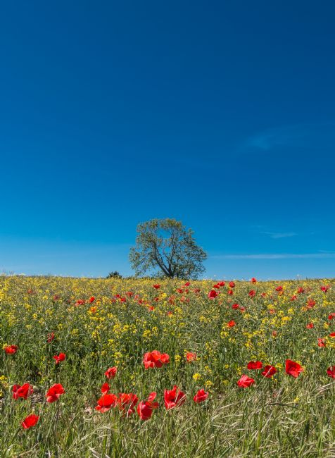 Richard Laidler | Red Poppies, Yellow Rape and Deep Blue Sky