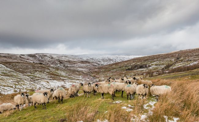 Richard Laidler | Swaledales in a Wintry Hudes Hope Valley, Teesdale