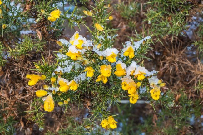 Richard Laidler | Flowering Gorse with Thawing Snow