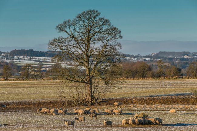 Richard Laidler | Winter Feeding and Grazing at Hutton Hall Farm, Teesdale