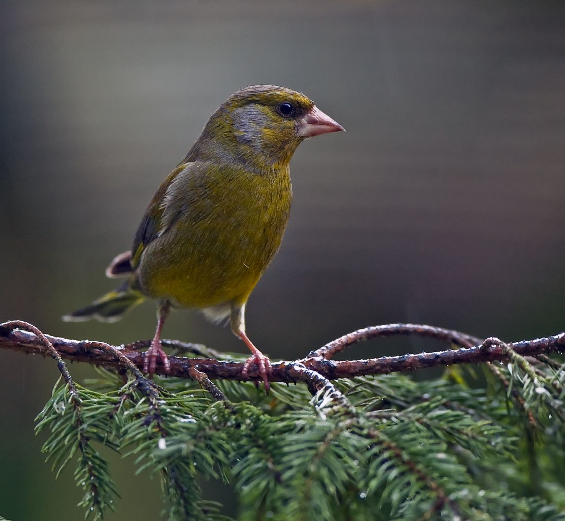 Tom Dolezal | Greenfinch