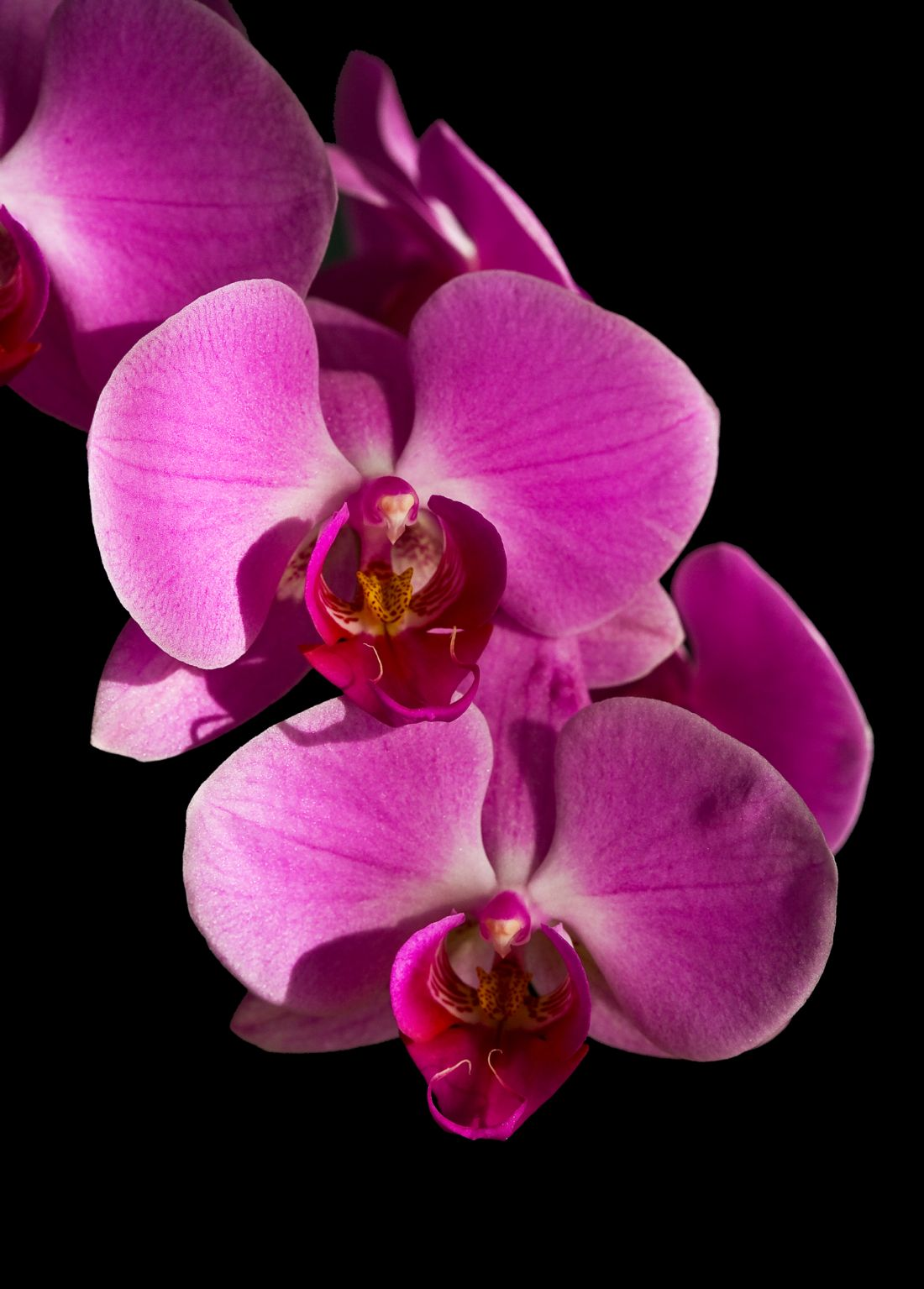 Tom Dolezal | Phalaenopsis orchid in dapple light