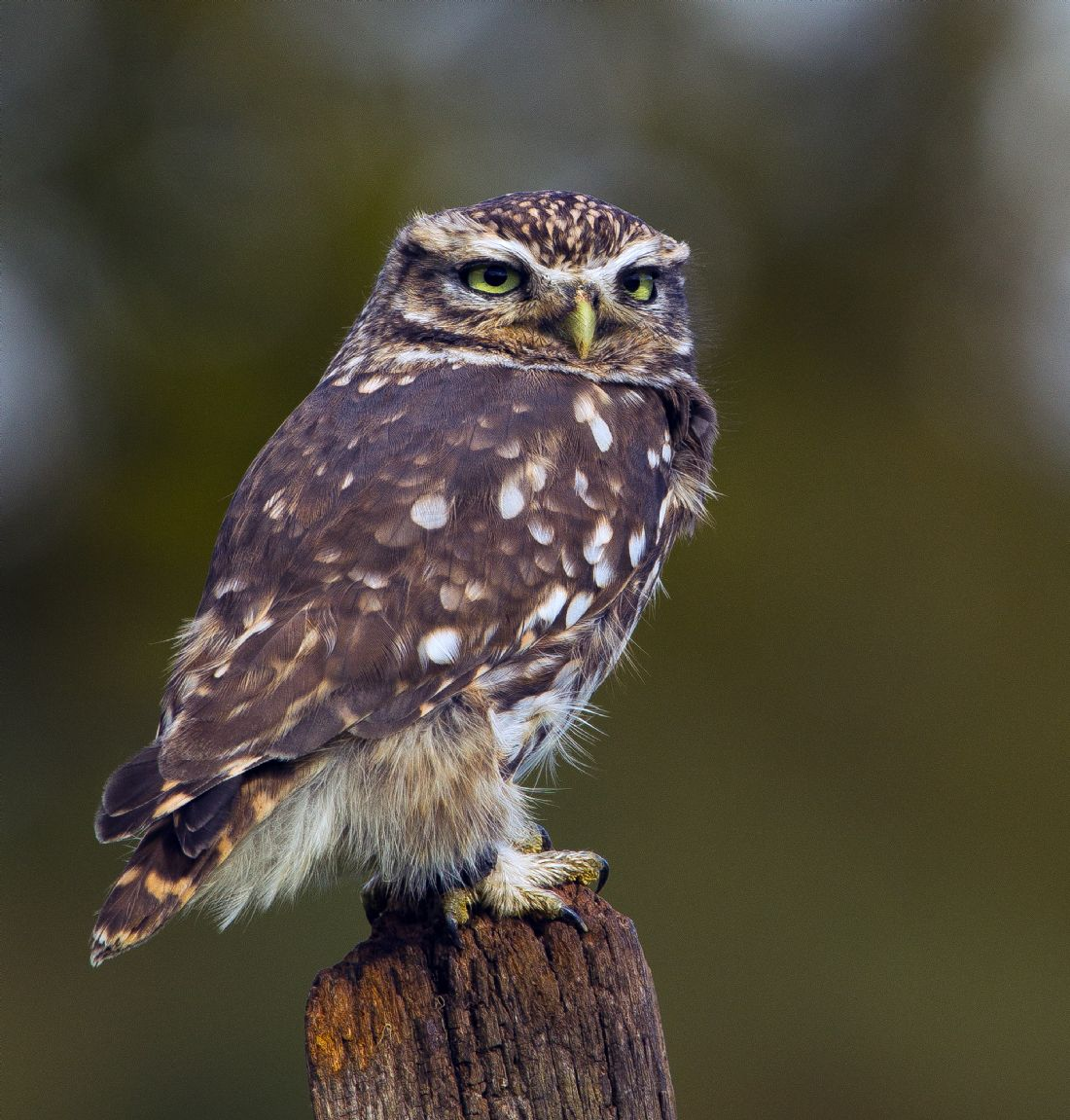 Tom Dolezal | Little Owl