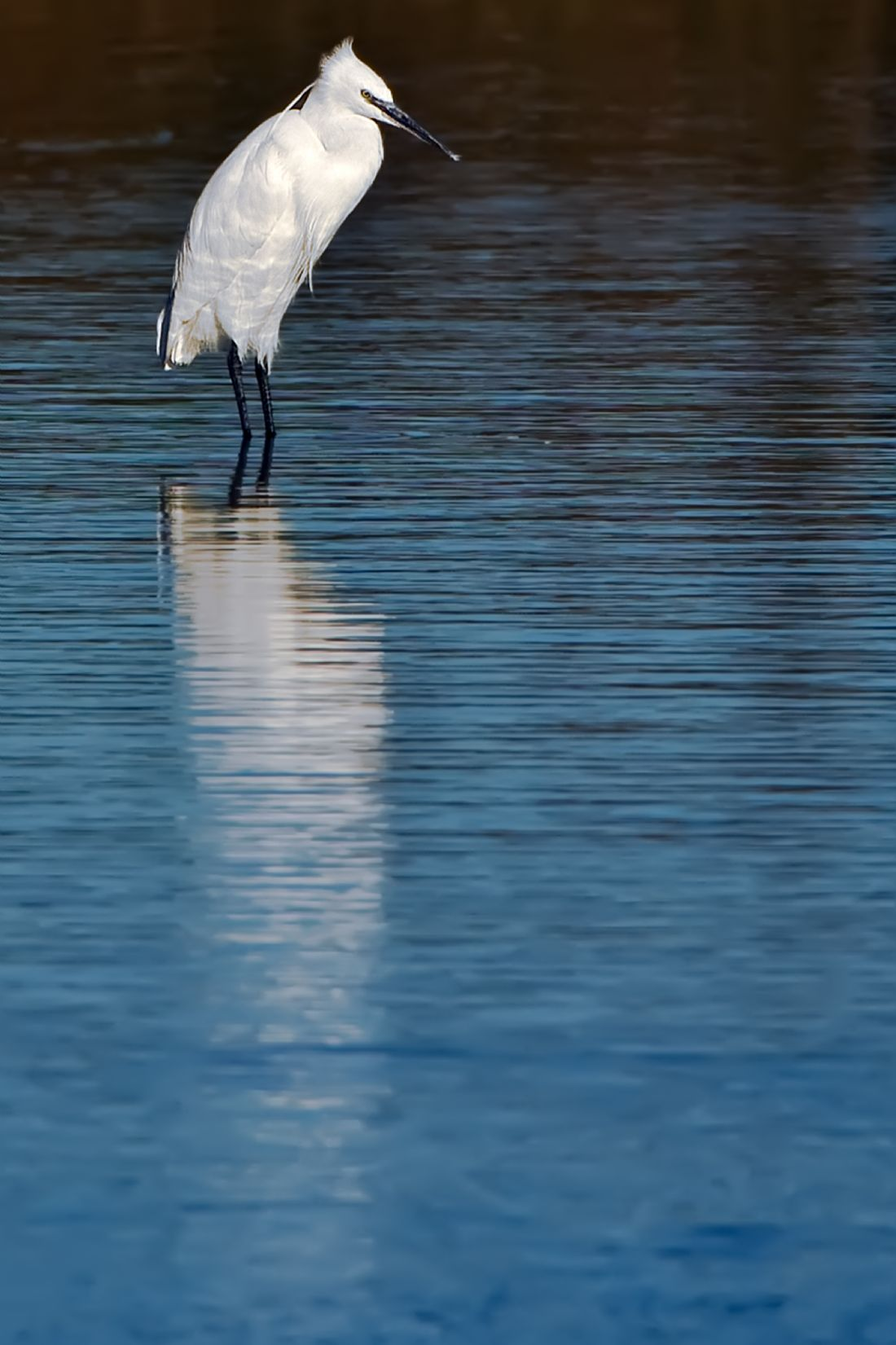 Tom Dolezal | Little Egret reflection