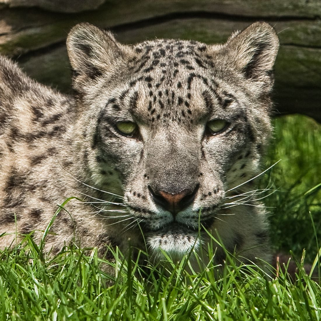 Tom Dolezal | Snow Leopard portrait