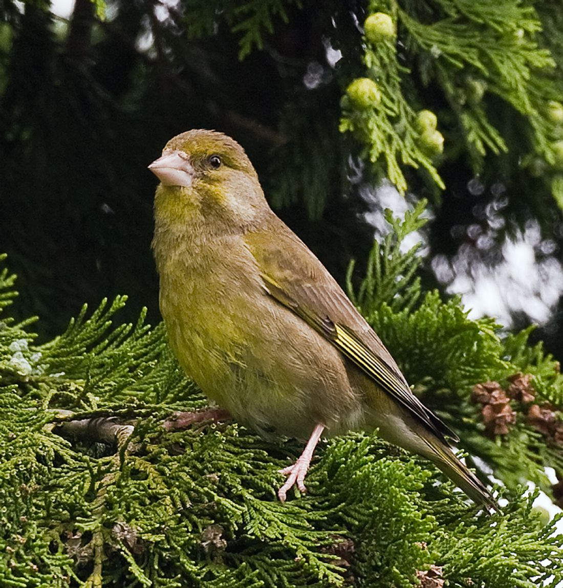 Tom Dolezal | Greenfinch enjoying the sun