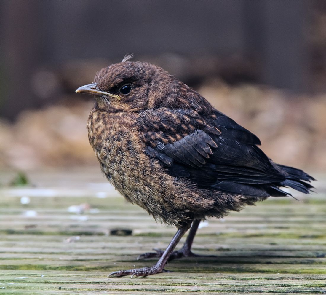 Tom Dolezal | Juvenile Blackbird