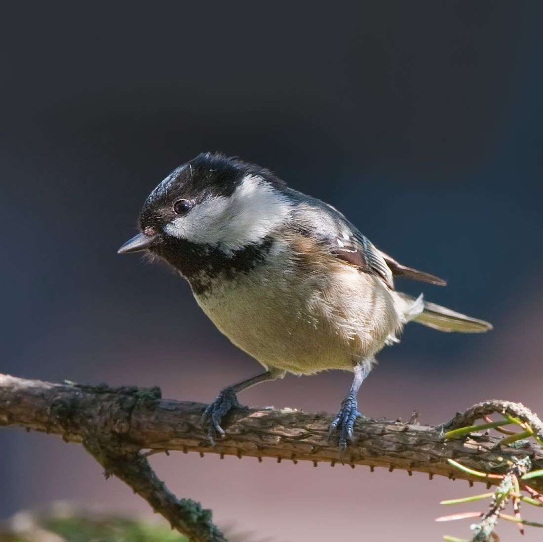 Tom Dolezal | Dapple lit Coal Tit
