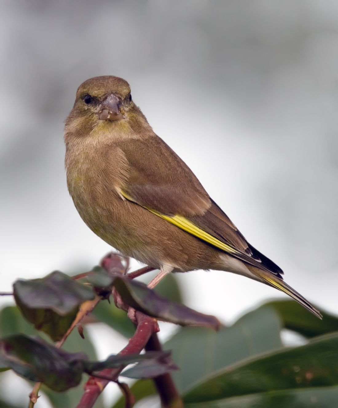 Tom Dolezal | European greenfinch