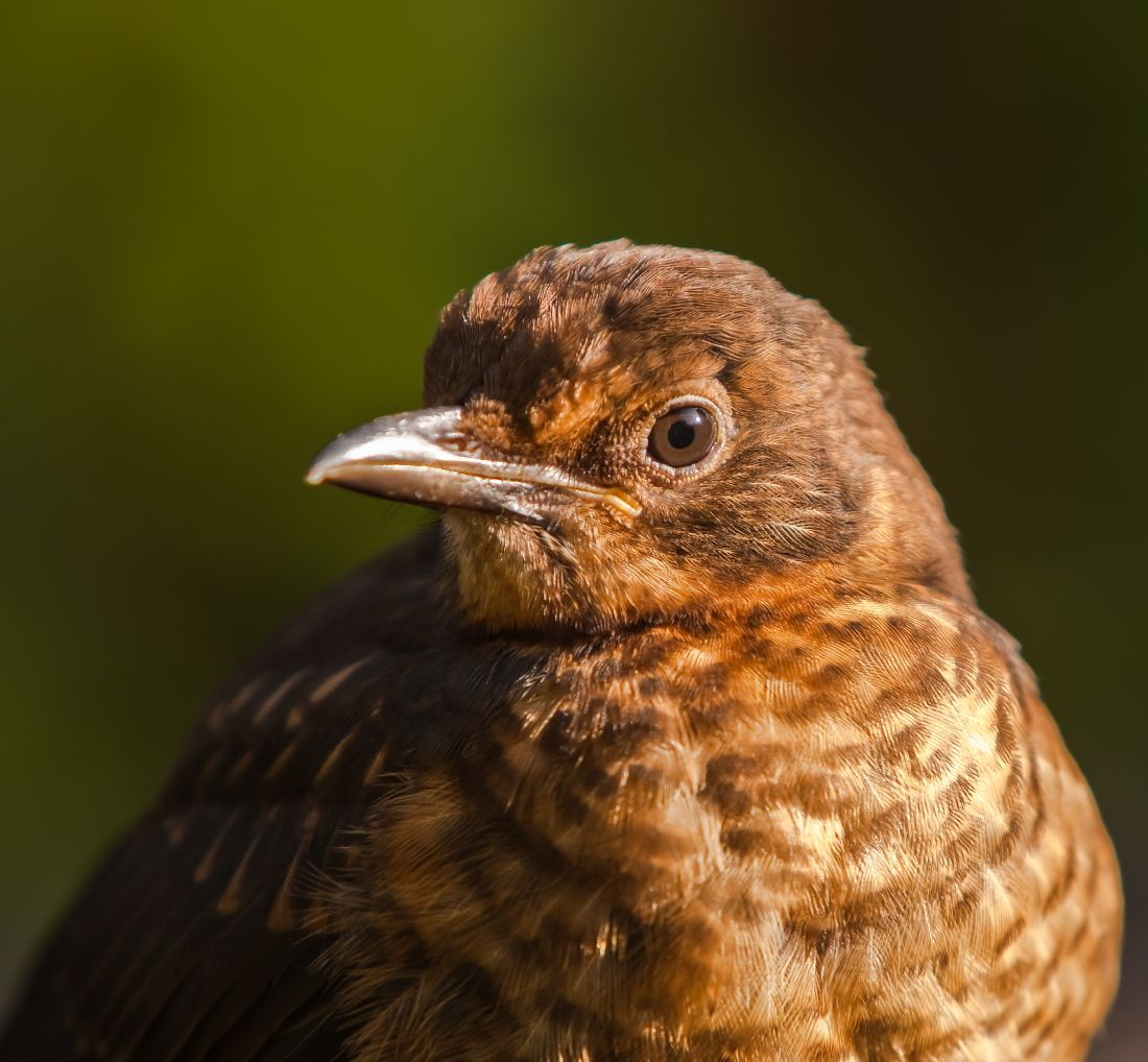 Tom Dolezal | Juvenile Blackbird portrait