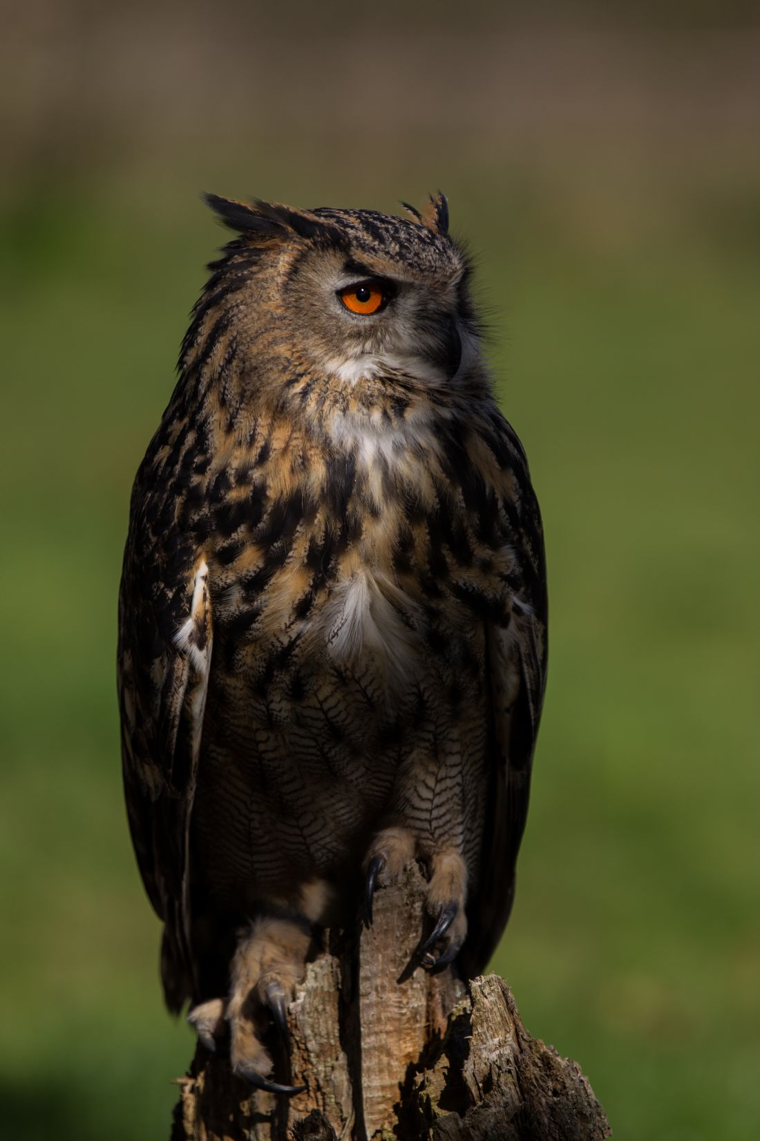 Tom Dolezal | European eagle-owl