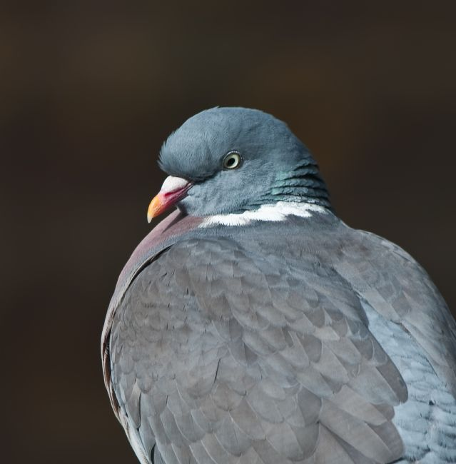 Tom Dolezal | Wood Pigeon profile