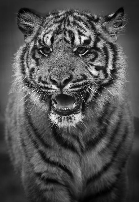 Tom Dolezal | Sumatran Tiger monochrome