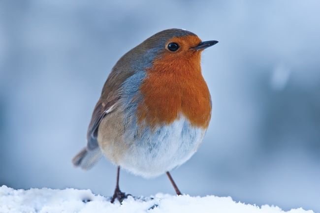 Tom Dolezal | WInter Robin
