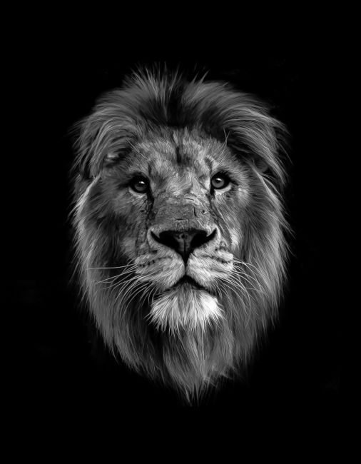 Tom Dolezal | Lion portrait mono