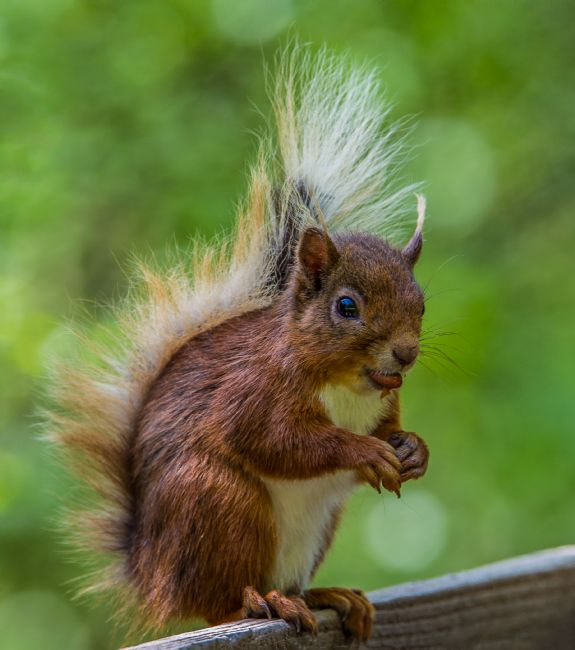 Tom Dolezal | Squirrel with peanut.
