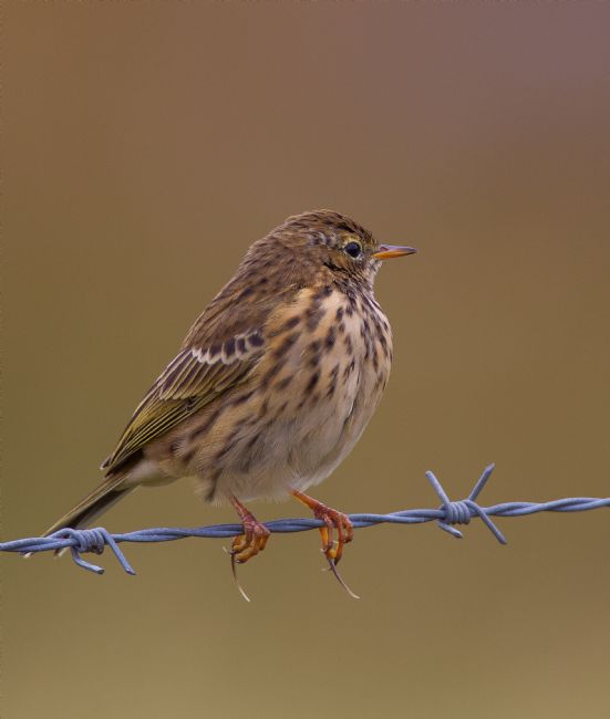Tom Dolezal | Meadow Pipit