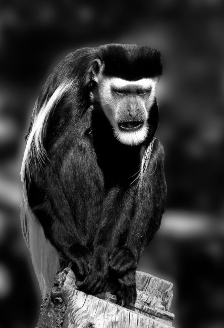 Tom Dolezal | Colobus Monkey portrait