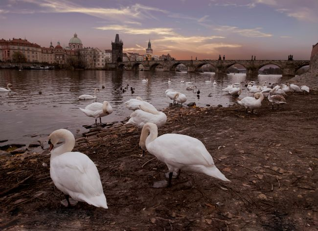 Tom Dolezal | Prague swans