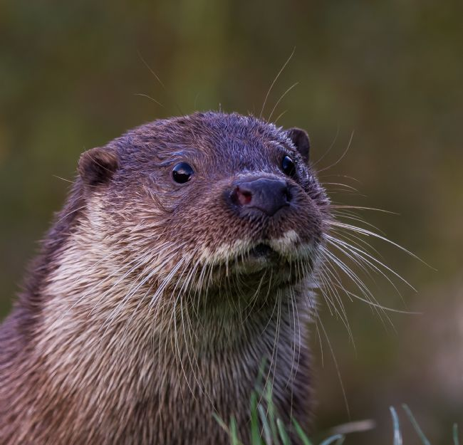 Tom Dolezal | Otter portrait