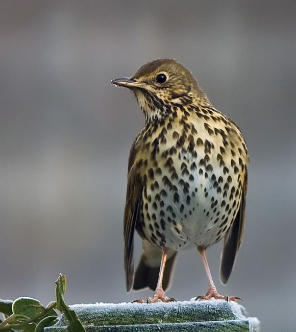 Tom Dolezal | Song Thrush on a frosty morning