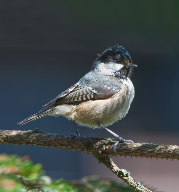 Tom Dolezal | Coal Tit in dapple light