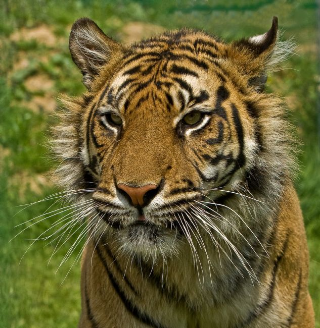 Tom Dolezal | Amur Tiger portrait