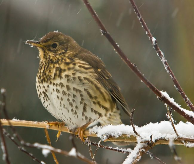 Tom Dolezal | Song thrush in the snow