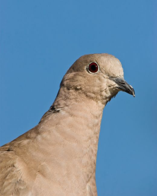 Tom Dolezal | Collared Dove profile
