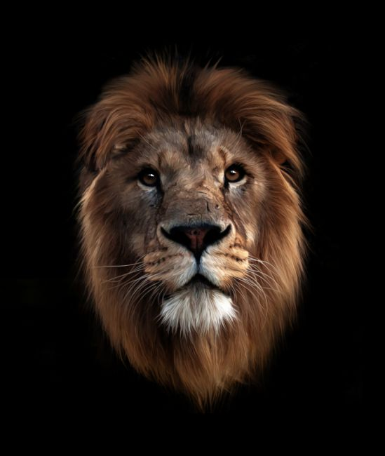 Tom Dolezal | Lion portrait - black background