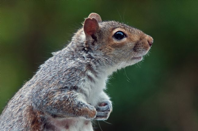 Tom Dolezal | Grey squirrel portrait
