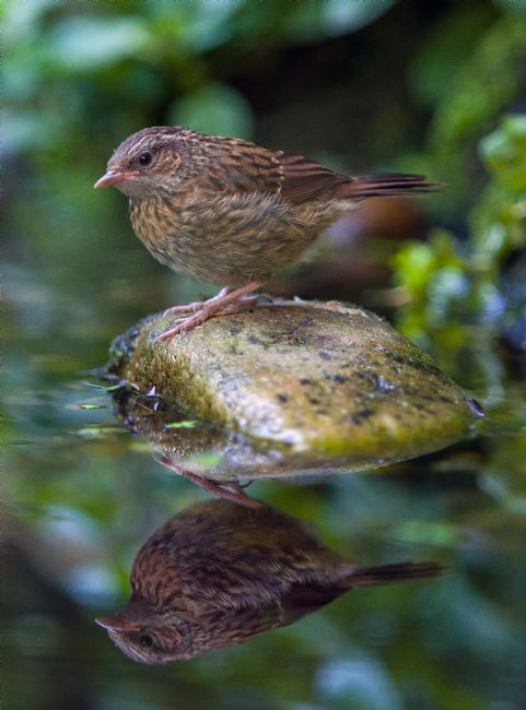 Tom Dolezal | Dunnock reflection