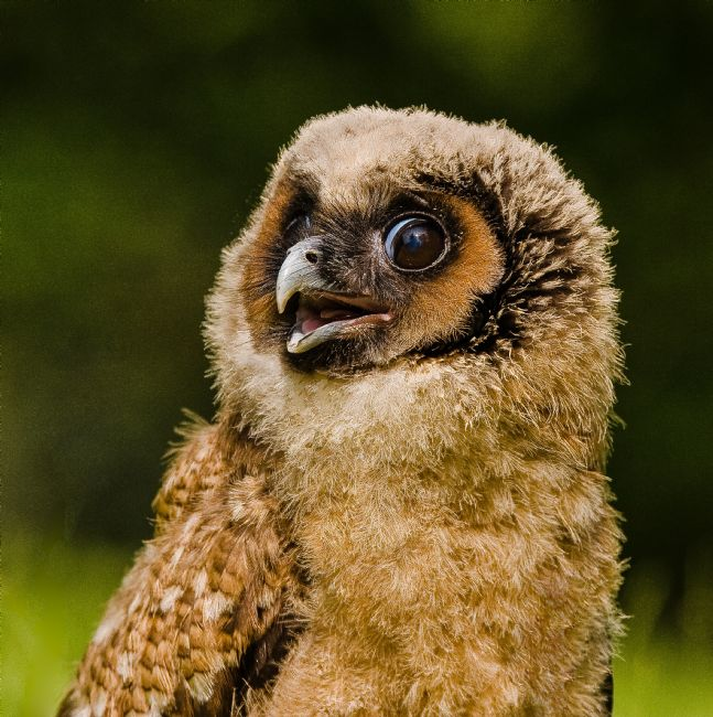 Tom Dolezal | Cheeky Malaysian Brown Wood Owl