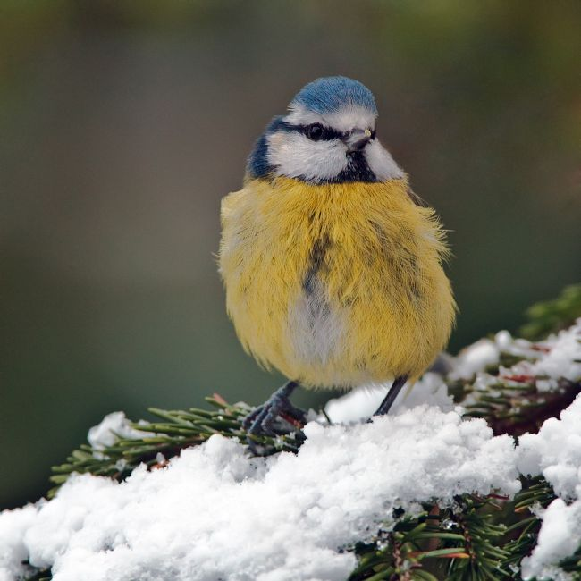 Tom Dolezal | Blue Tit in the snow