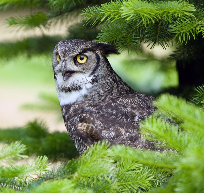 Tom Dolezal | Great Horned Owl