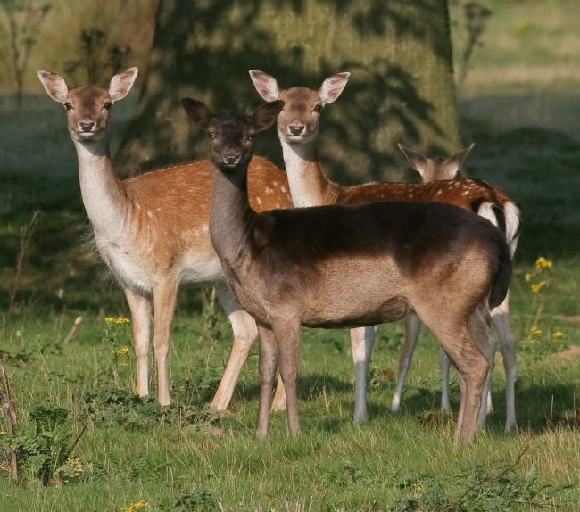 Tom Dolezal | Deer group in Kent