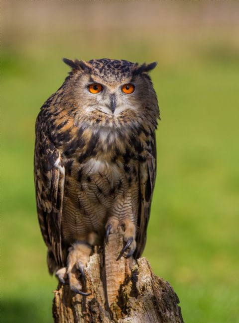 Tom Dolezal | Eagle Owl eyes