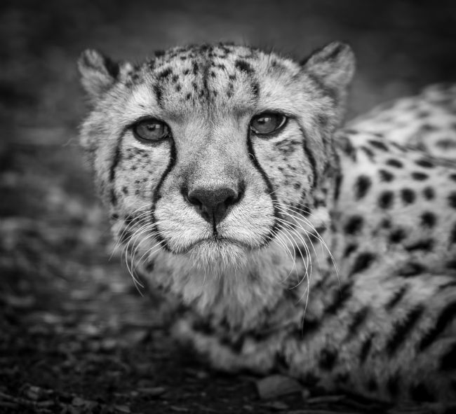 Tom Dolezal | Lowdown Cheetah portrait