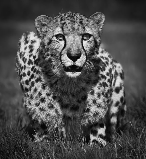 Tom Dolezal | Cheetah portrait