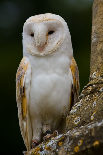 Tom Dolezal | Barn Owl