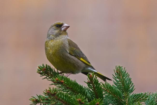Tom Dolezal | Greenfinch portrait