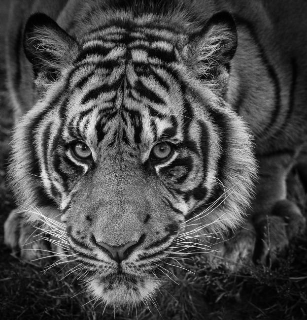 Tom Dolezal | Eye to eye with a Amur Tiger