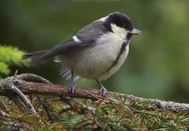 Tom Dolezal | Juvenile Great Tit
