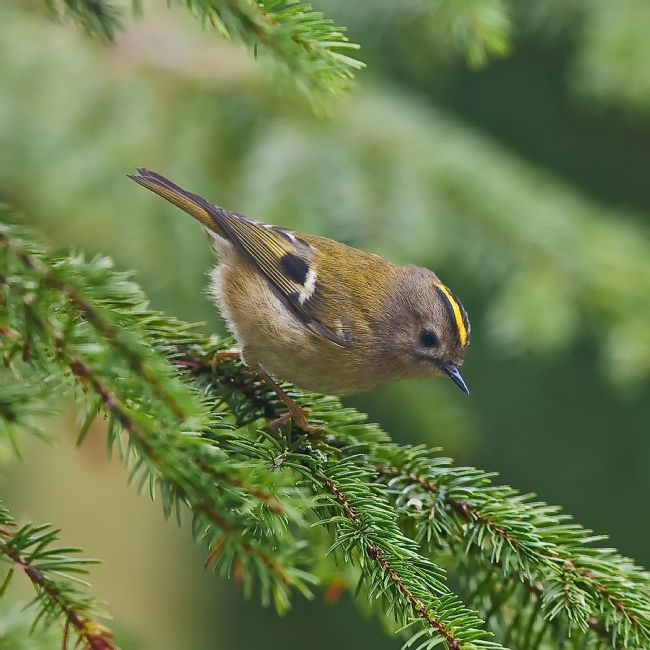 Tom Dolezal | Goldcrest