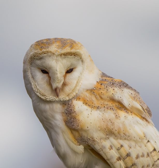 Tom Dolezal | Barn Owl portrait