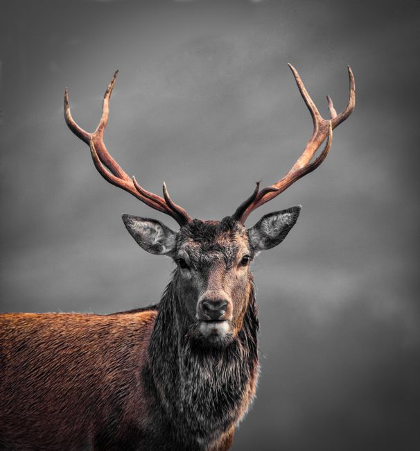 Tom Dolezal | Highland Stag